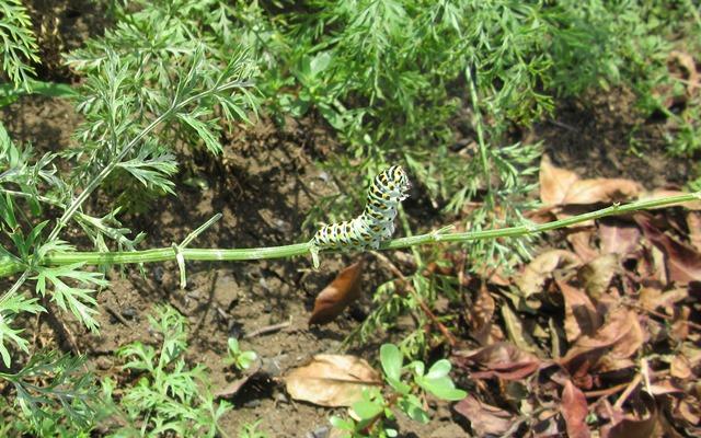 葉を食べる幼虫