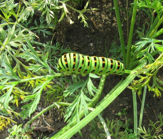 アゲハの幼虫が大分成長している