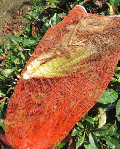 網ごと引き倒して網の上からかみつかれたトウモロコシ