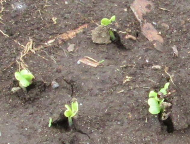 発芽した白菜