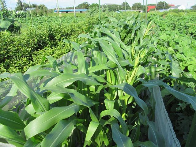 第三弾のトウモロコシ畑