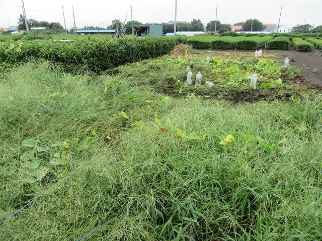 草ぼうぼうのカボチャ畑
