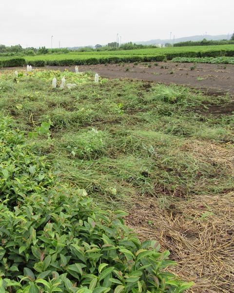 草が刈り取られてきれいになったカボチャ畑