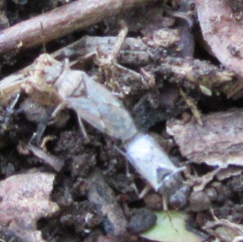 名前もわからない5mmほどの虫の交尾