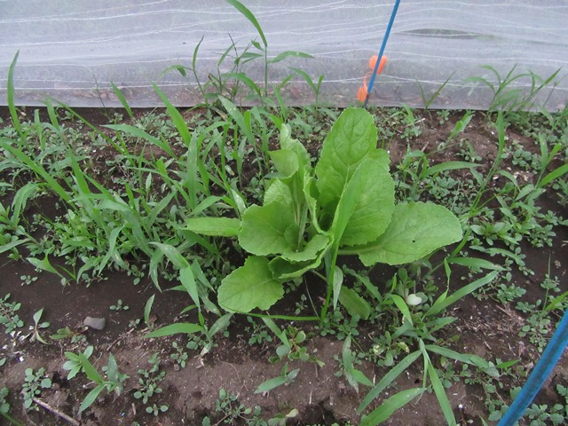 込み合っている白菜と大分成長してきた野草