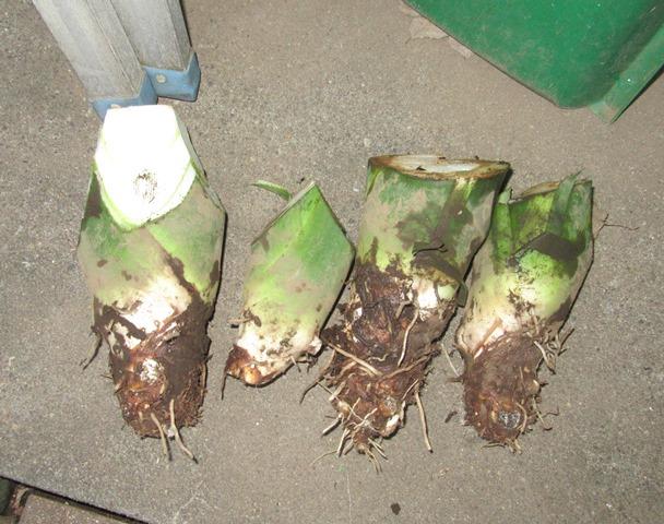 筍芋:これで一株の収穫:結構食べごたえがある。