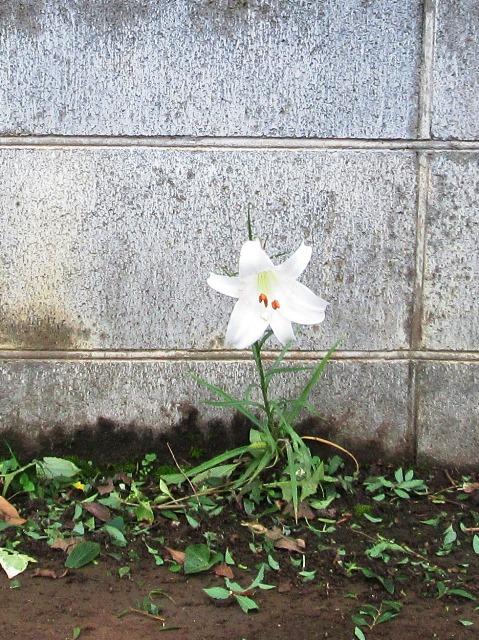 通路に咲くゆりの花
