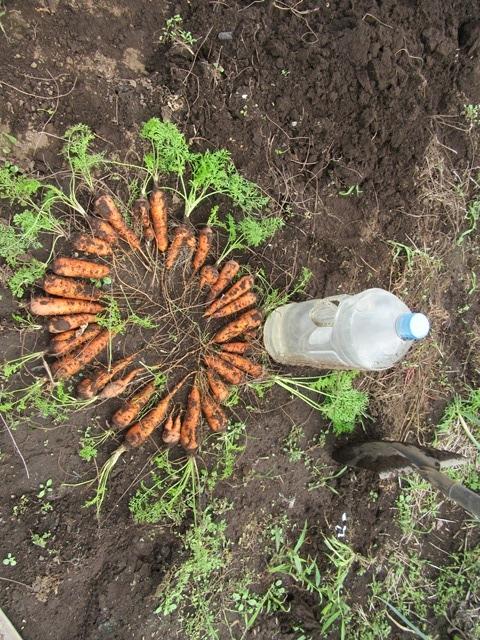 今日収穫したニンジン。これで最後だ。