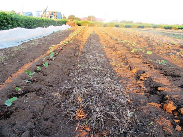 イチゴ苗の定植