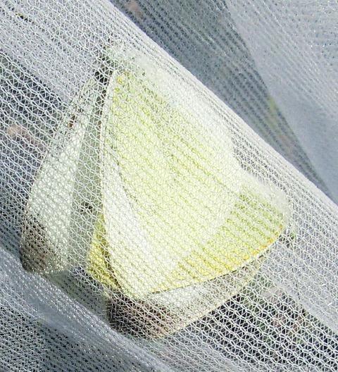 モンシロチョウの交尾