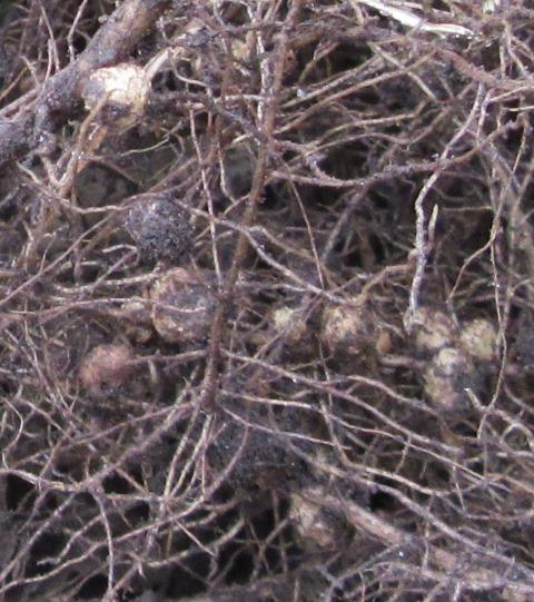 大豆の根にできた根粒菌