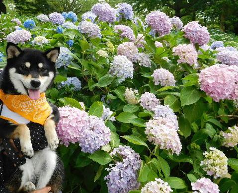 紫陽花チャロ