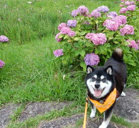 紫陽花クロ