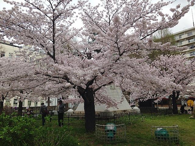 4月初旬の下町ランニングは桜満開でしたヽ(^o^)丿