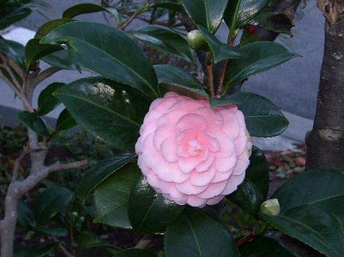 椿の花002