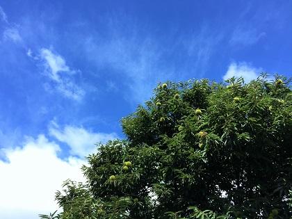 栗の木と空