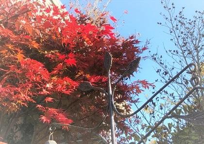 KONOHA紅葉