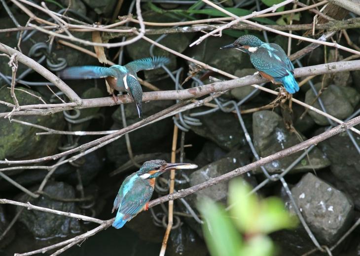 0624_3_3日目の幼鳥達