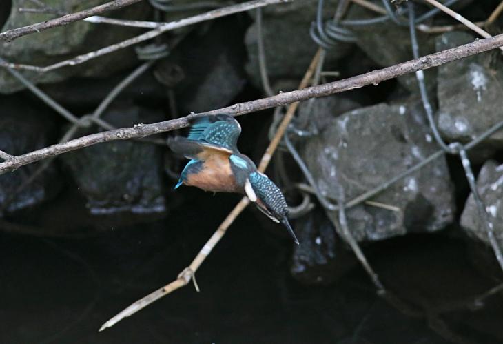 0624_4_幼鳥のダイブ