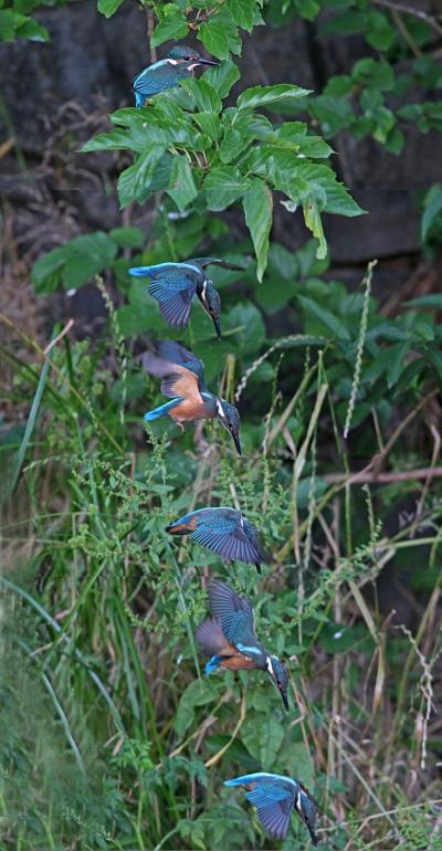 0624_7_幼鳥カワセミのダイブ