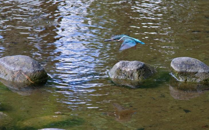 0623_3_幼鳥カワセミ