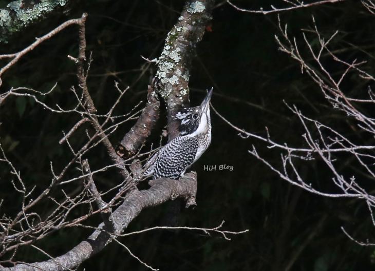 0816_幼鳥ヤマセミ 2