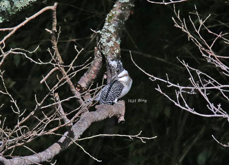0816_幼鳥ヤマセミ 4
