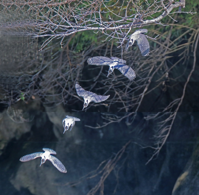 0816_幼鳥ヤマセミ 5