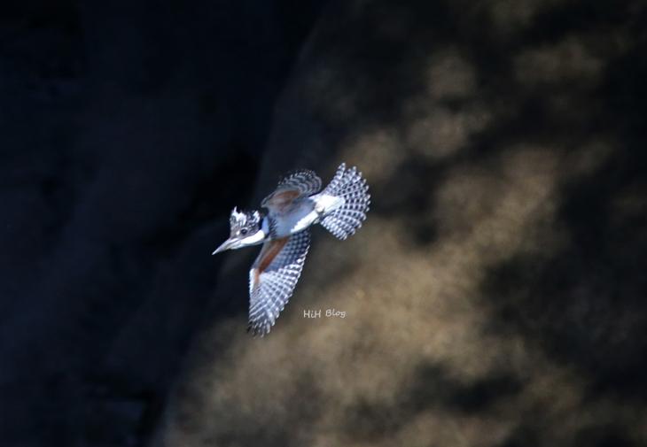 0816_幼鳥ヤマセミ 6