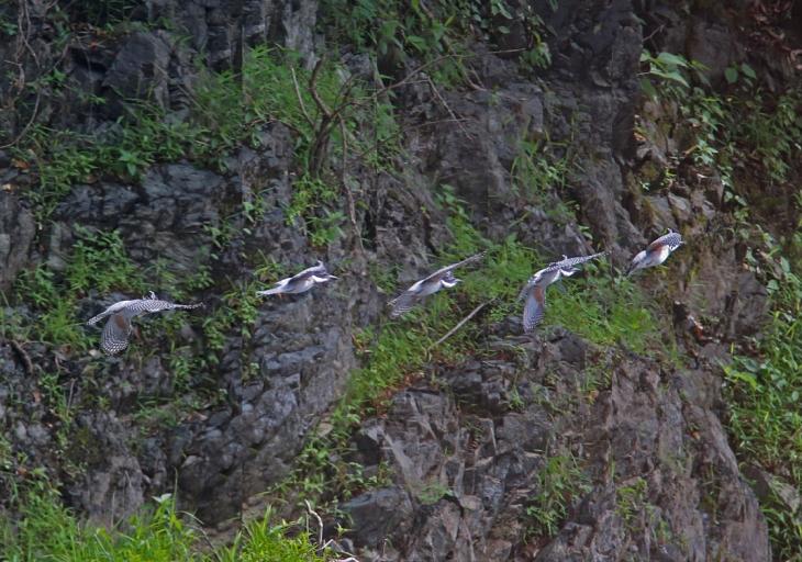0816_幼鳥ヤマセミの飛翔