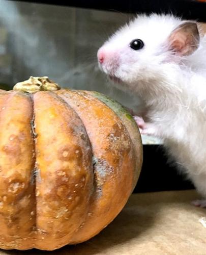 もちこ~かぼちゃ4