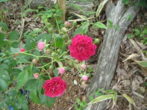 山小屋の入り口にバラが咲いた