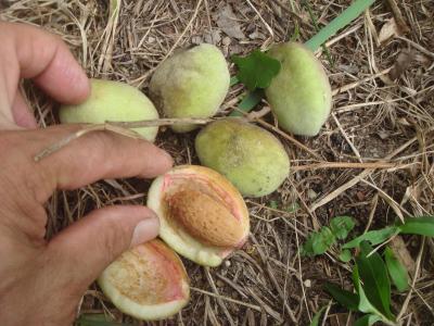 アーモンドの収穫