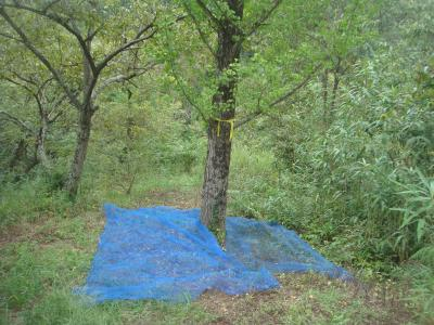 イチョウの木の下にネット張り