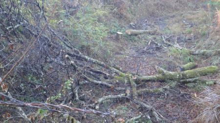 栗の老木の伐採