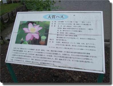 mini_22_hasu_P6252337.jpg
