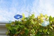 ヘブンリーブルーが開花した
