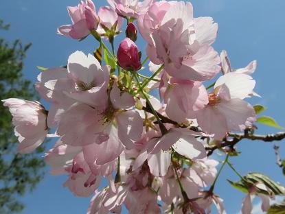 4/17 旭山桜
