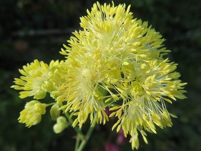 黄花芳香カラマツ草