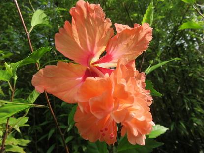 7/30 オレンジフラミンゴ