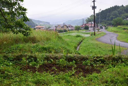 280612 藤袴植栽11