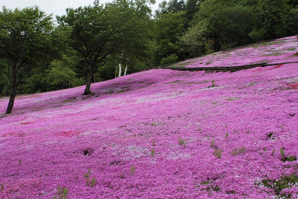 滝ノ上芝桜