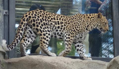 福岡市動物園のヒョウ キララちゃん