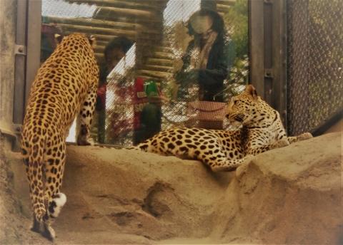きららちゃんとルナたん 福岡市動物園のヒョウ