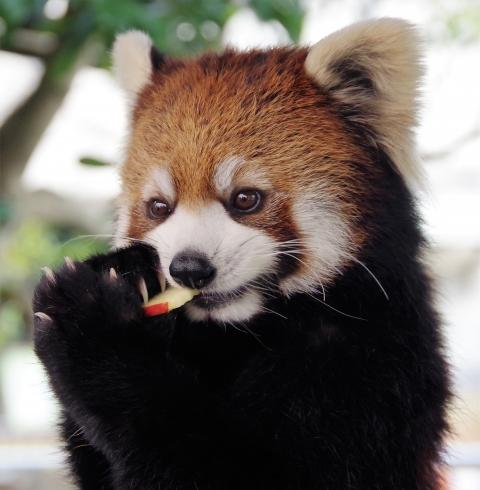 レッサーパンダ 福岡市動物園 まりもちゃん