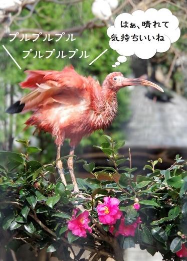 Scarlet Ibis / コウノトリ目 トキ科 福岡市動物園 ショウジョウトキ