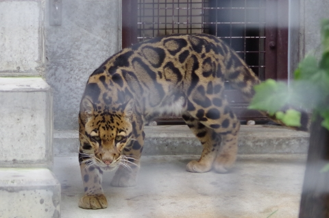 福岡市動物園のウンピョウ
