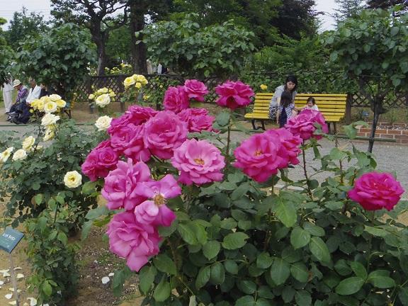 _IGP6203 ばら園 色鮮やかに 0528