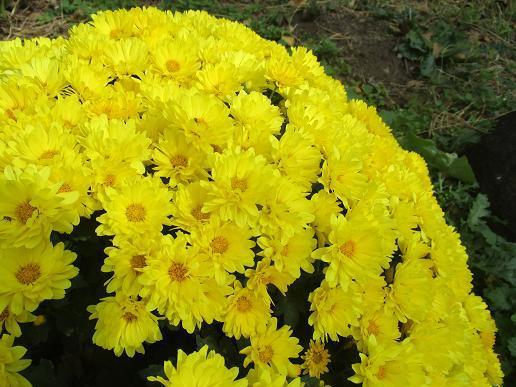 IMG_6538⑩黄の小菊