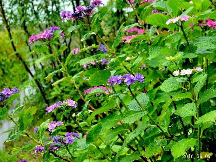 雨の紫陽花①-2